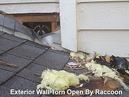 Exterior wall torn open by a raccoon on the roof