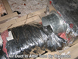 Air duct in attic torn apart by raccoon