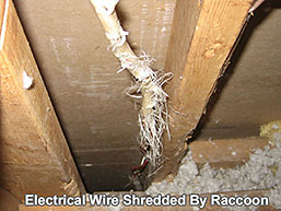 Electrical wire in attic shredded by a raccoon that got in through the roof